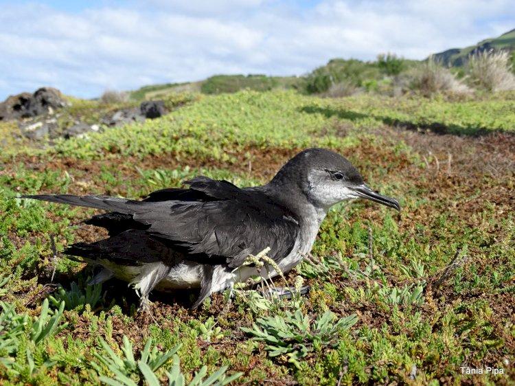 Novo projecto vai usar o som para estudar aves marinhas dos Açores e da Madeira